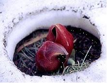 周りの雪を溶かすザゼンソウ