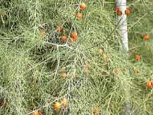 スパラガスの赤い果実写真