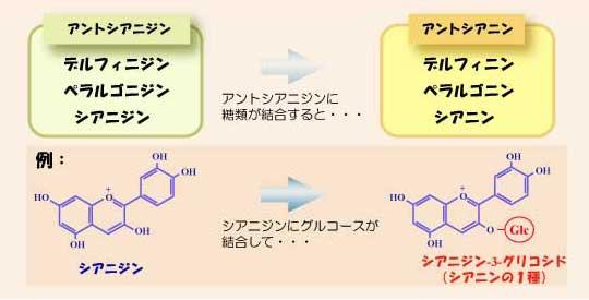 アントシアニジンとアントシアニンの区別