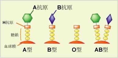 血液型を決める糖鎖のイメージ