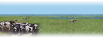 放牧している牛のイメージ