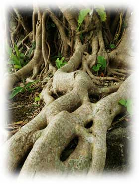 木の根イメージ(ガジュマル)
