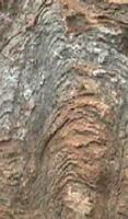 化石のストロマトライト